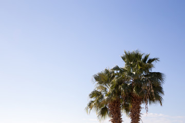 Palm tree in the background of a clear blue sky. Background for inserting an image or text on a theme - tourism, travel and leisure. Natural background