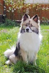 chien race berger islandais