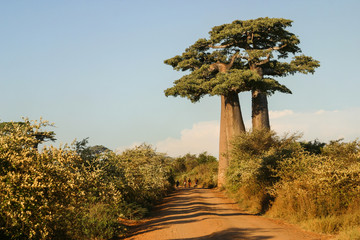 Keuken foto achterwand Baobab Grandidier's baobabs on the edge of a sand path