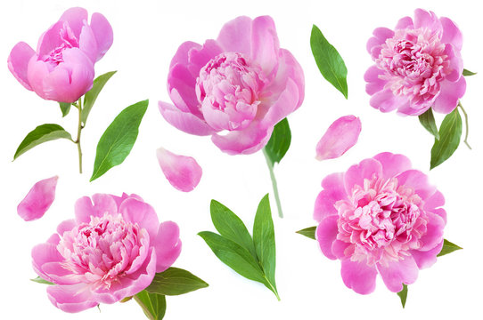 beautiful peony set with leaves and petals isolated on white background