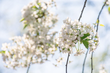 apple blossom in the garden. beautiful nature scene in springtime. blooming twig on a blurred blue sky background on a sunny day