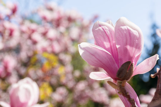 pink magnolia bud on blurry garden background. beautiful nature scenery in springtime.