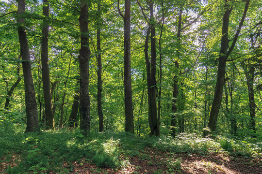 beech forest on the hillside. wonderful nature background. freshness in the shade of trees in summer