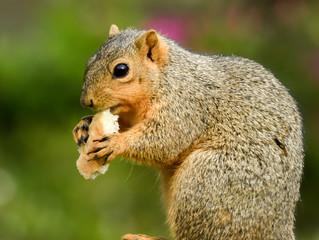 Fototapete - Squirrel eating