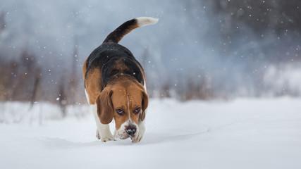 Beagle dog sniffs the ground in winter