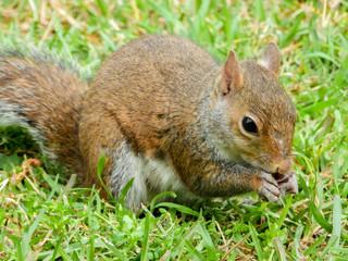 Fototapete - squirrel eating nut