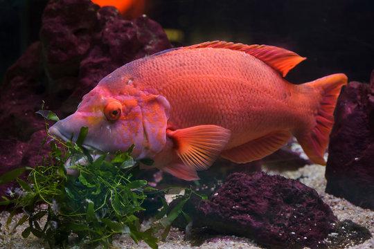 Barred hogfish (Bodianus scrofa).