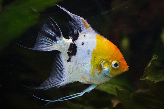 Angelfish (Pterophyllum scalare)