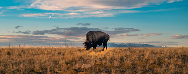 Canvas Prints Bison Buffalo Panorama Wildlife