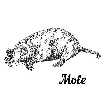Mole. Sketch. Engraving style. Vector illustration.