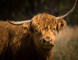 Fotobehang Schotse Hooglander Scottish Highlands Cow