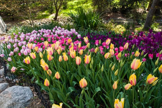 It's Tulip Mania Time! Tourists are flocking to Descanso Gardens to see the glorious, colorful tulips at peak bloom. La Cañada Flintridge, California. March 2019.
