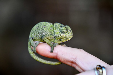 Deurstickers Kameleon chameleon on hand, photo as background, baby chamaleon