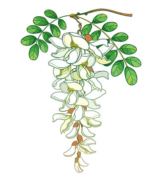 Branch of outline pastel false Acacia or black Locust or Robinia flower, bud and green leaves isolated on white background.