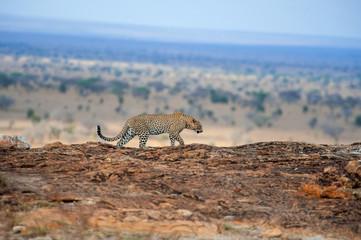 Wall Mural - Leopard in National park of Kenya