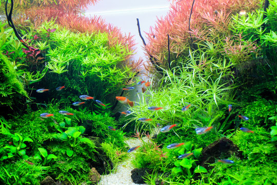 Planted aquarium with tropical fish. Tropical fishes Diamond neon tetra lives happiness in planted tank.