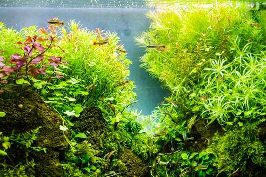 Planted aquarium with tropical fish. Tropical fishes lives happiness in planted tank.