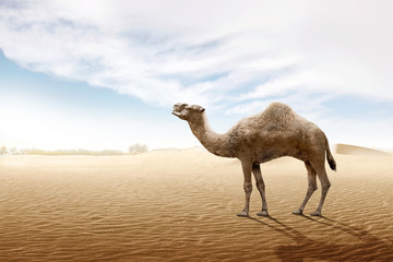 Foto op Canvas Kameel Camel standing on the sand dune