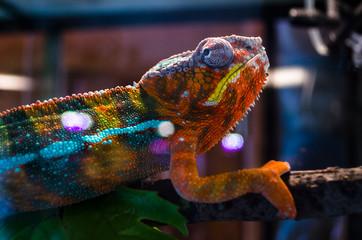 Foto op Aluminium Kameleon Adult lizard in the zootherrarium