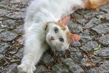 Türkisch Van Katze räkelt sich auf Straßenpflaster