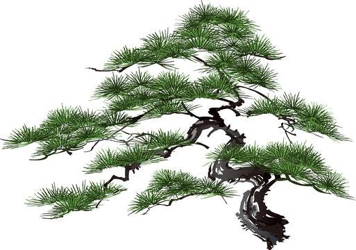 松 Pine