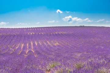 Lavender field in sunlight, Provence, Plateau Valensole. Beautiful image of lavender field....