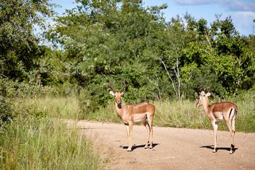 Garden Poster Antelope antilope gehweg