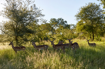 antilope herde