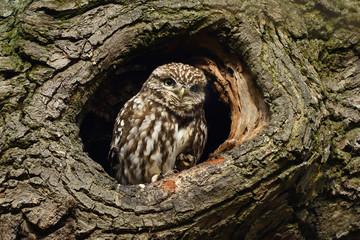 Photo sur Aluminium Chouette Little owl in tree hole