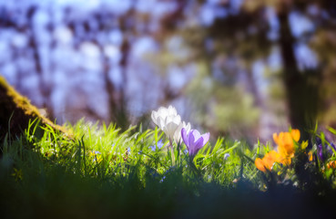 Springtime. Spring flowers in sunlight, outdoor nature. Wild crocus, postcard.