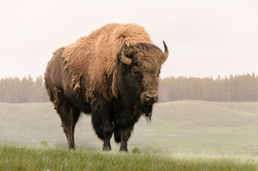 Printed roller blinds Bison bison in Yellowstone Nationale Park in Wyoming