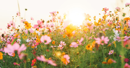 Fotobehang Bloemen beautiful cosmos flower field