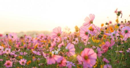 beautiful cosmos flower field