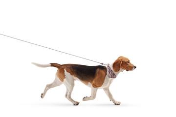 Beagle dog walking on a leash