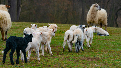Fototapete - sheep and cute lambs close up