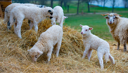 Fototapete - sheep and cute lambs