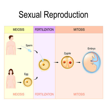 Sexual Reproduction: mitosis, fertilization, meiosis.