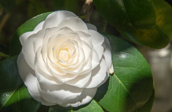 close-up of a flower, white camellia