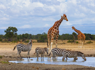 Foto auf Leinwand Zebra Two reticulated giraffe Giraffa camelopardalis reticulata four zebra zebras queue to drink water at waterhole Sweetwaters tented camp Ol Pejeta Conservancy Kenya East Africa