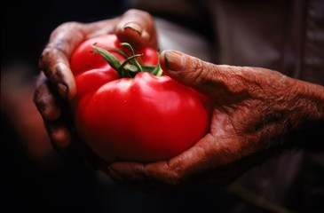 A man holds a fresh tomato from his garden.
