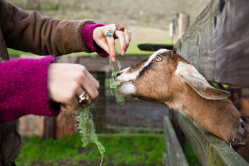 A young woman feeds an eager goat lichen through a fence at a ranch in Muir Beach, California.