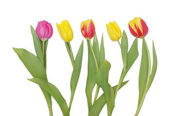 Five isolated tulips