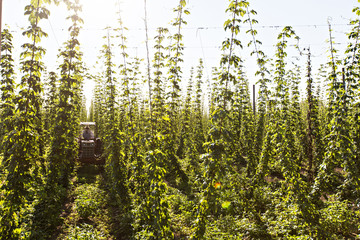 Oregon hopp farm
