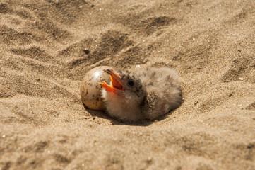 Bird hatchling in sand in Mamiraua Ecological Reserve, Amazon Region, Brazil