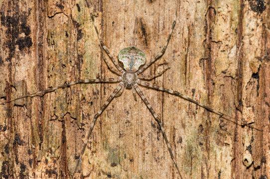 Large spider on tree trunk, Mamiraua Ecological Reserve, Amazon Rainforest, Brazil