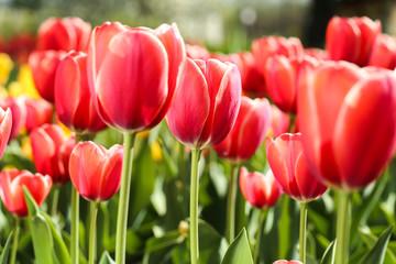 Photo sur Plexiglas Tulip Fresh red tulip flowers in the garden