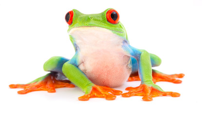 Red eyed monkey tree frog, Agalychnis callydrias. A tropical rain forest animal with vibrant eye isolated on a white background..