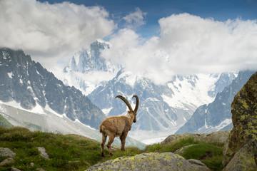 Mountain goat staring over Mer de Glace glacier, France