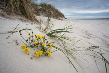 Grass and flowers om sand dune at beach, Sweden