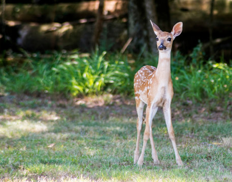 A little fawn White Tailed Deer strolling around a field.